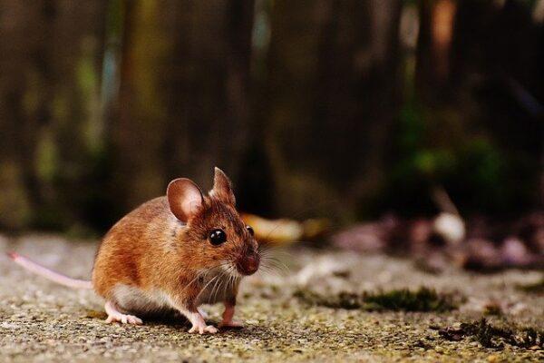 come capire segni di presenza di topi